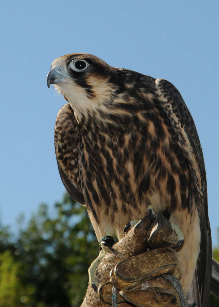 A peregrine falcon. MUST CREDIT: Frank Doyle/U.S. Fish and Wildlife Service.