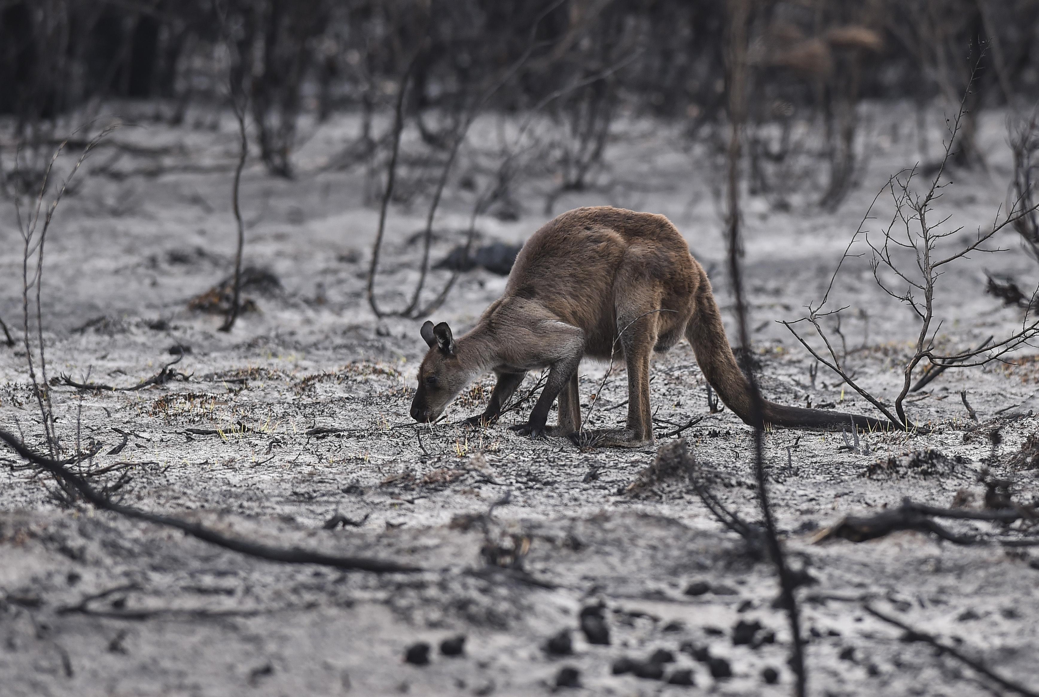 A kangaroo roots through the charred ground for food as members of Humane Society International disaster response teams rescue koalas and kangaroos on Jan. 20, 2020, on Kangaroo Island, South Australia. The Australian bush fires are the subject of a new movie,