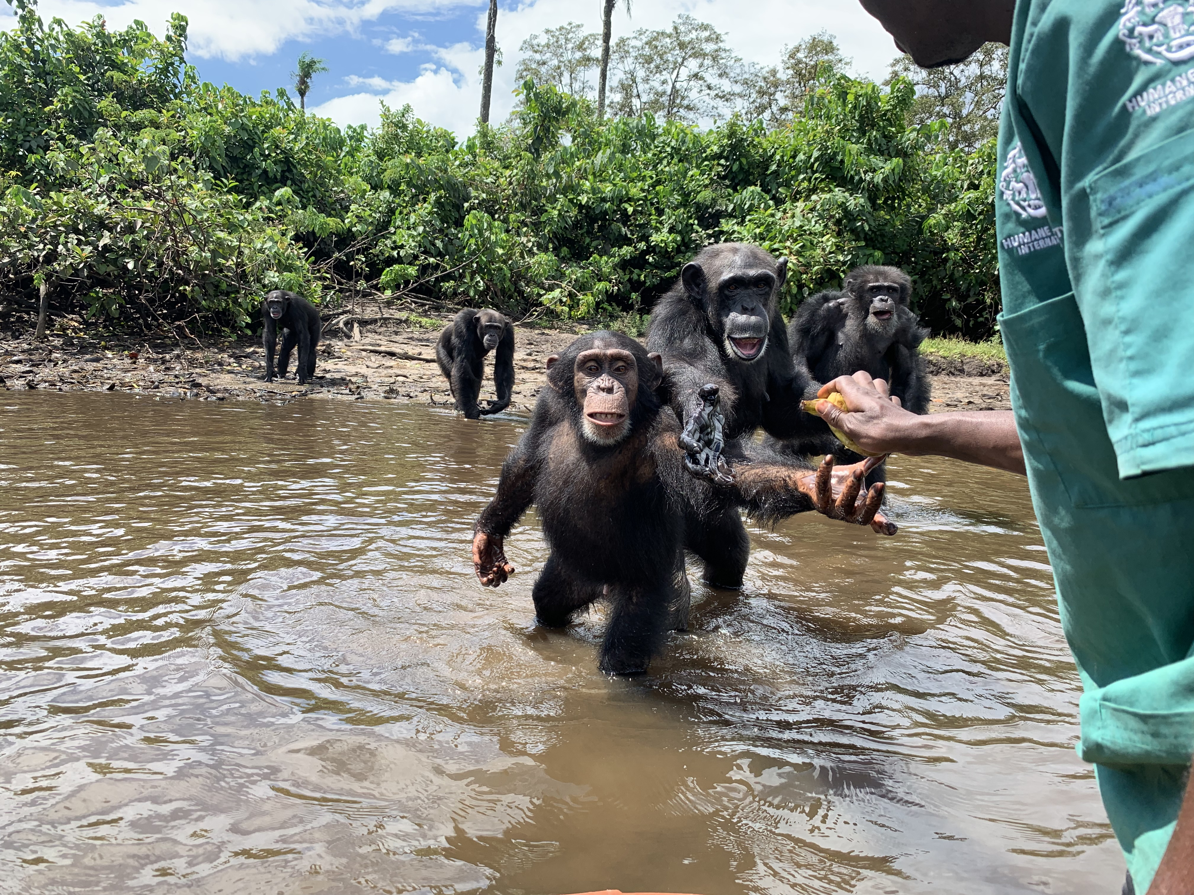 Chimpanzees catch food thrown to them by a team of caretakers on Monkey Island, Liberia, on Nov. 3, 2019. The chimpanzees were infected with hepatitis B in the 1970s. MUST CREDIT: Washington Post photo by Danielle Paquette