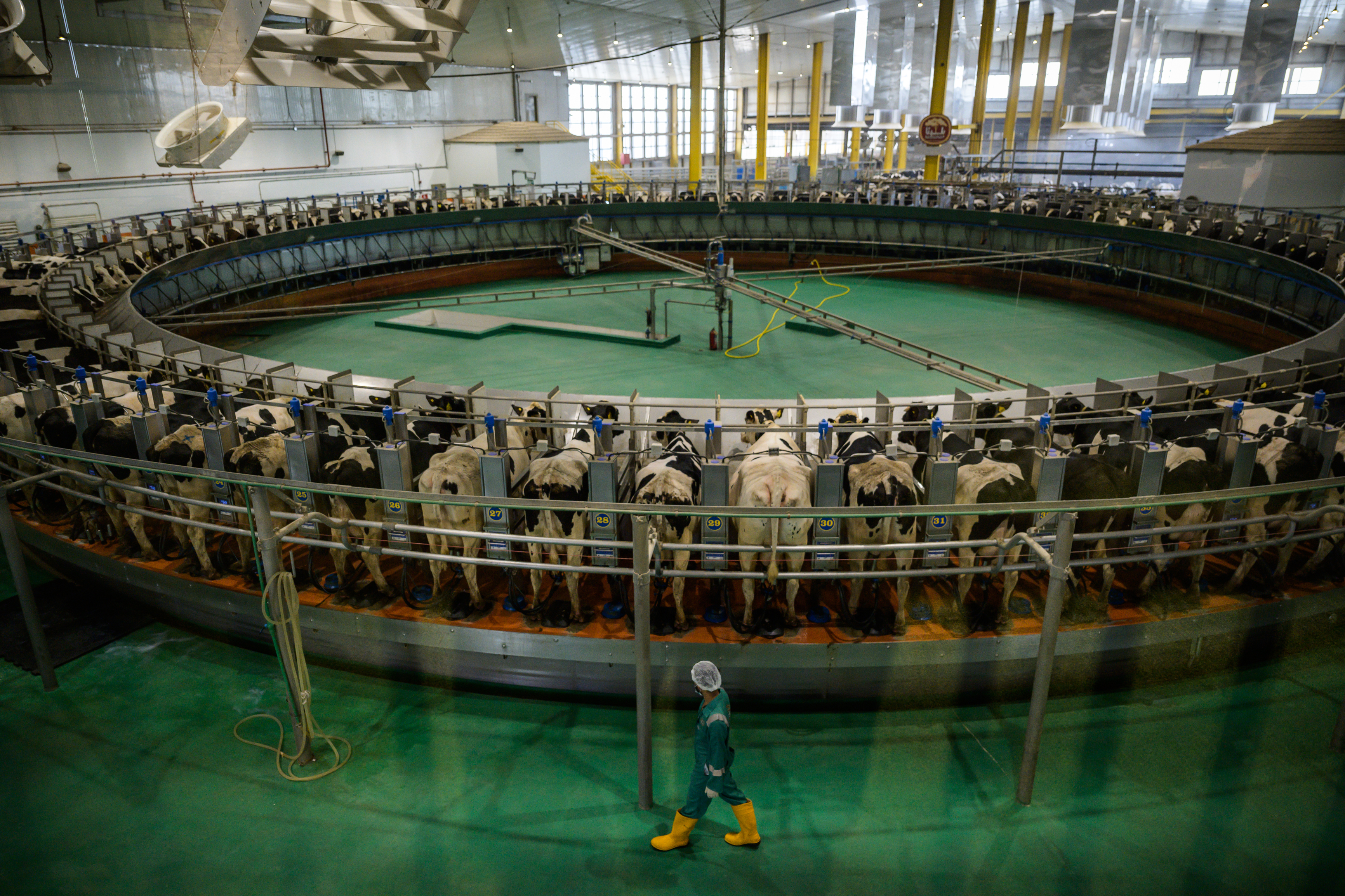 Baladna's Holstein cows are seen inside a dairy farm on circular platform with automated milking tubes on July 9 in Al Khor, Qatar. MUST CREDIT: Washington Post photo by Salwan Georges