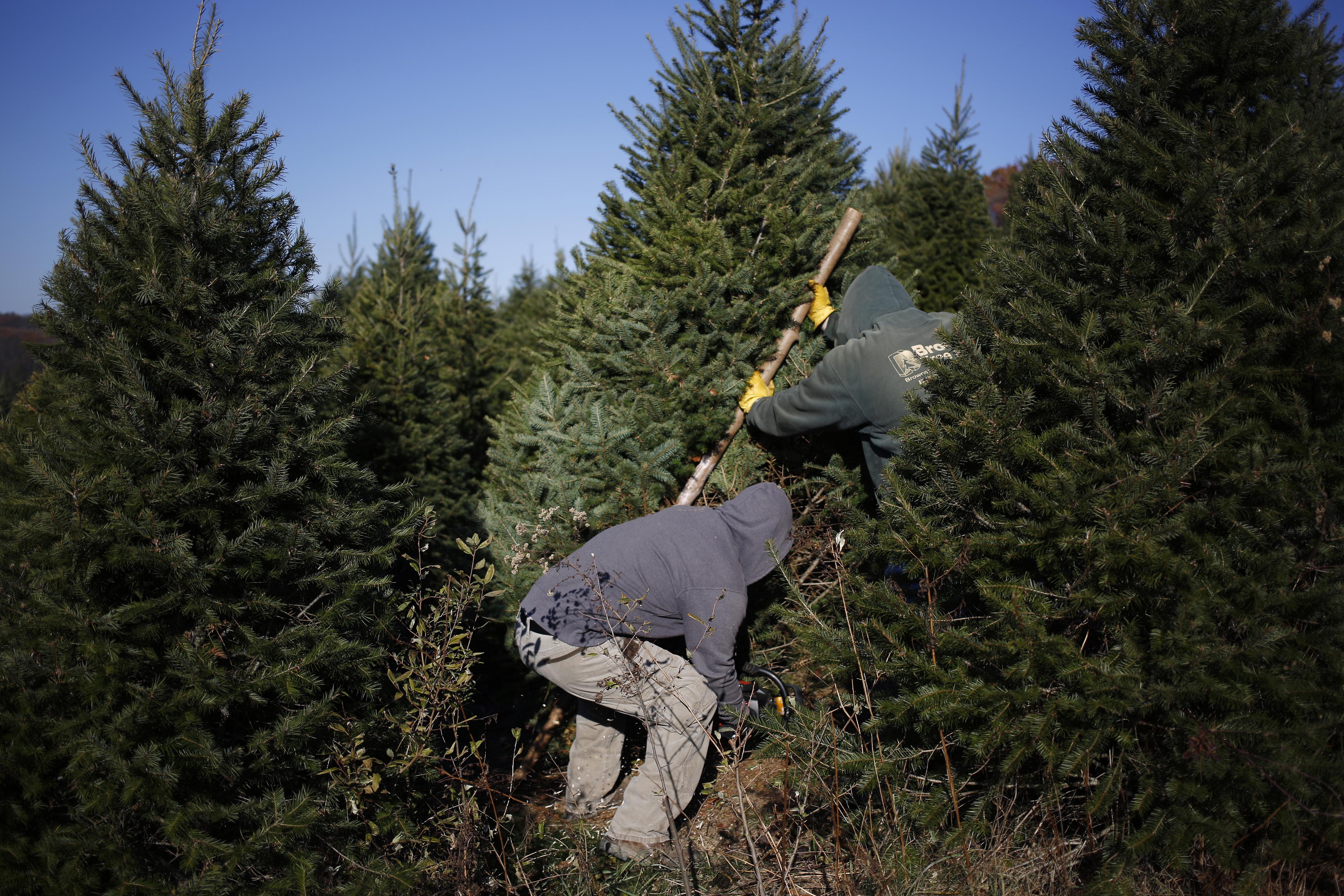 Workers harvest Christmas trees at Brown's Tree Farm in Muncy, Pennsylvania, U.S., on Nov. 29, 2017. MUST CREDIT: Bloomberg photo by Luke Sharrett.